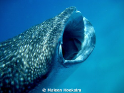 Whale Shark at Whale Shark Alley by Maleen Hoekstra